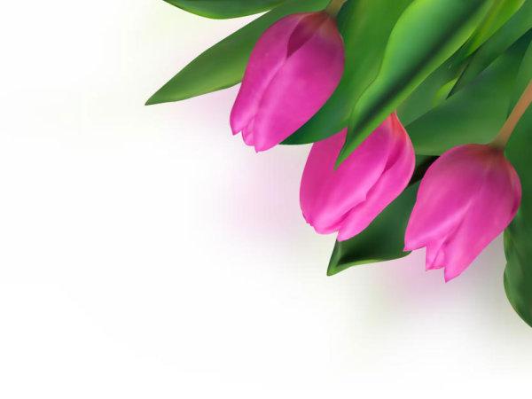 鲜艳,郁金香,花朵,鲜花,花束,含苞待放,矢量图,设计素材,eps格式