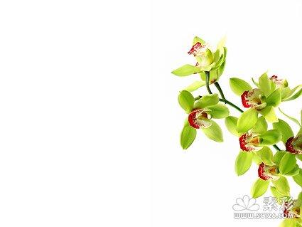 兰花白底图片素材-1