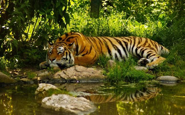 老虎图片,树木,森林,保护动物,草丛,石头,树林,老虎,草丛,野草,杂草