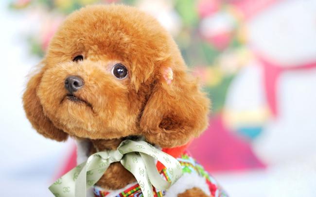 泰迪犬,萌宠,宠物,狗狗,小狗,可爱,萌狗狗,宠物犬,动物,图片大全