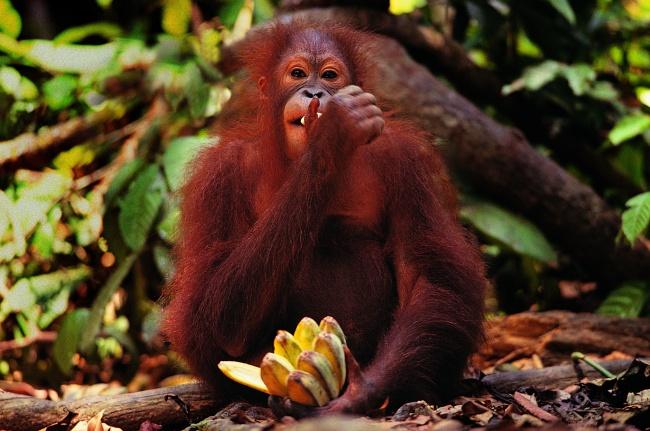 大猩猩,香蕉,保护动物,大猩猩,类人猿,保护动物,香蕉,树林,水果,动物