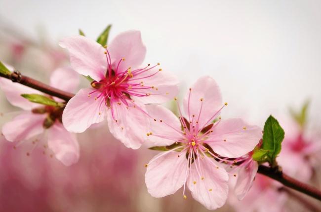 春天桃花图片-素彩图片大全