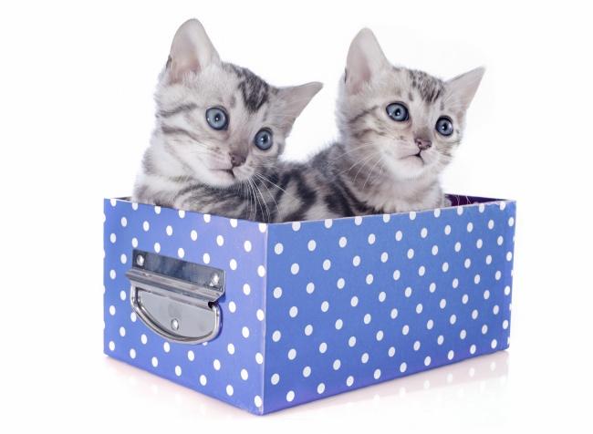 萌猫,猫咪,花猫,两只,盒子,礼品盒,可爱,萌宠,宠物,动物,图片大全
