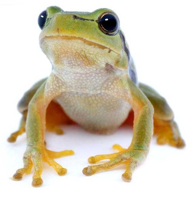 动物图片,馋嘴蛙,青蛙,两栖动物