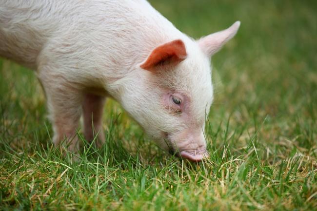 白色小猪觅食图片