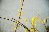 黃色清新迎春花圖片
