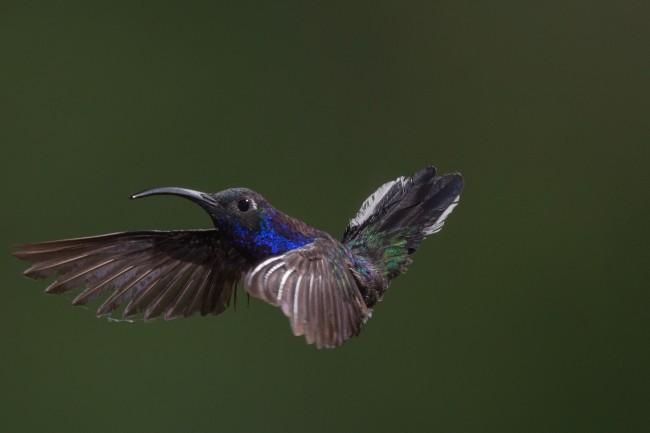 蜂鸟飞行图片-素彩图片大全