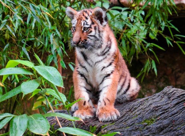 小老虎可爱高清图片-素彩图片大全