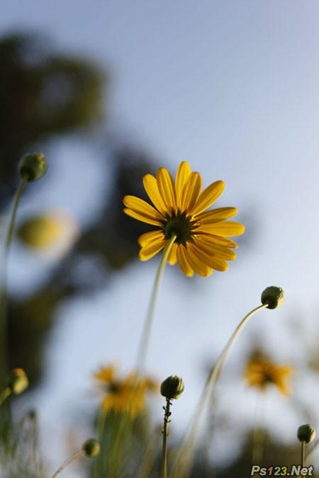利用纯色图层快速打造中性蓝黄色花朵图片