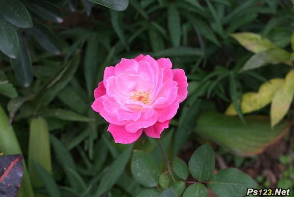 photoshop 简单几步将玫红色花朵转成美丽的蓝色