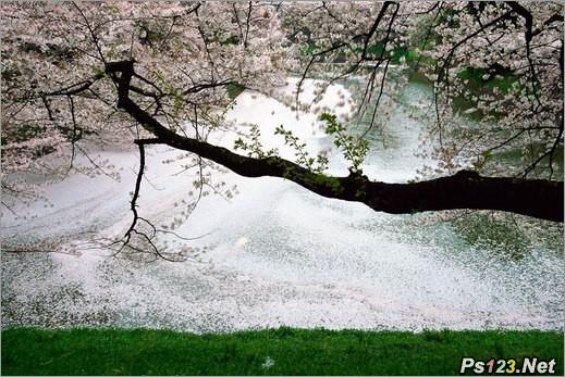 拍摄樱花的5个要素