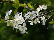 春天白色梅花图片