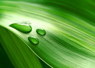 绿叶露珠图片