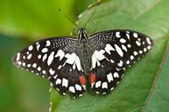 黑白色蝴蝶图片