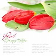 红色郁金香背景图片