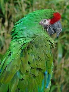 绿色金刚鹦鹉高清图片
