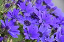 紫色菊花摄影图片下载