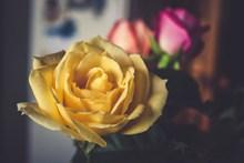 美丽黄玫瑰图片