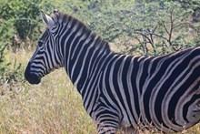 非洲草原斑马图片下载
