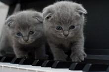 两只灰色折耳猫图片下载