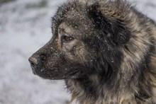 成年高加索犬精美图片