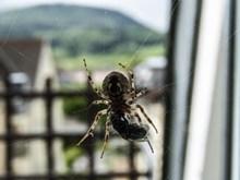 蜘蛛捕食瞬间图片下载