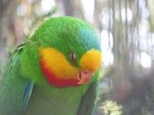 绿鹦鹉睡着图片素材