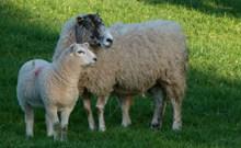 农场绵羊母子图片下载
