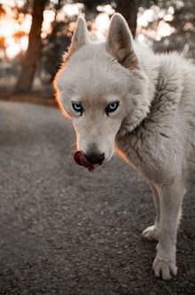 蓝眼睛的狗狗图片