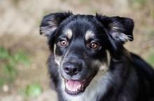黑色中华田园犬精美图片