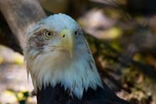 白头老鹰头部精美图片