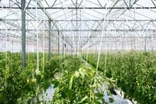 大棚种植绿色蔬菜高清图片