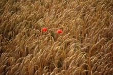 麦田金黄小麦精美图片