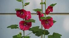 红色蜀葵花朵精美图片