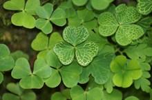 绿色三叶草摄影高清图片