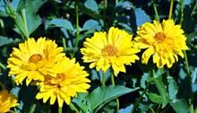 灿烂黄菊花高清图
