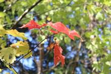 初秋红树叶摄影高清图