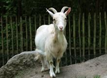 动物园山羊图片大全