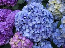 美丽绣球花鲜花图片