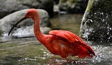 红鹮戏水高清图