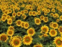 向日葵灿烂花朵图片