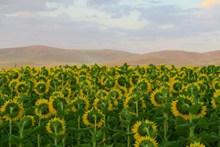 向日葵花海壁纸图片