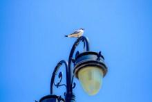 路灯上的海鸥高清图片