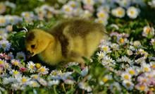 花丛中的小鸭子图片大全