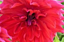 红色娇琴纱微距图片素材