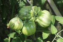 绿色番茄摄影高清图片