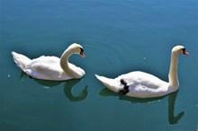湖中两只大白鹅图片