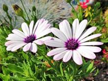 淡紫色花朵灿烂高清图