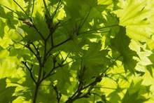 背光绿色叶子图片