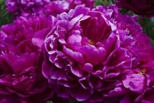 紫色牡丹花特写高清图片